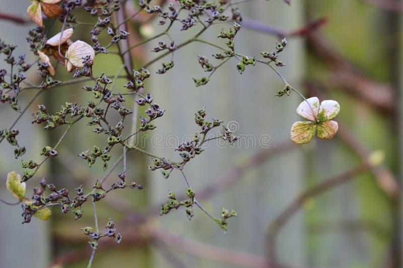Dead hydrangea flowers in the winter stock photos