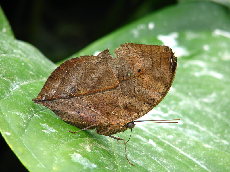 Dead Leaf Butterfly royalty free stock photos