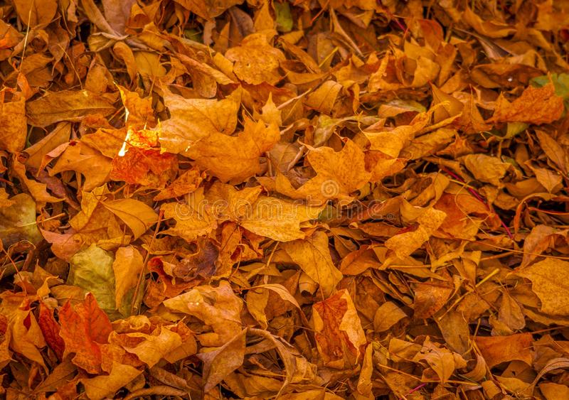 Dead leaves in the fall. stock image