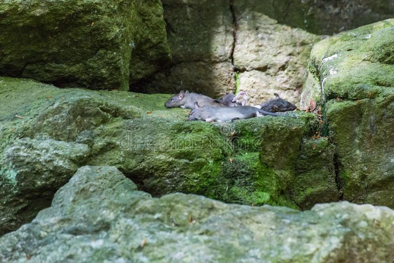 Dead mice as food for predators lie on large stones.  royalty free stock photos