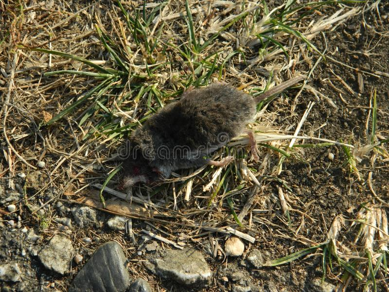 Dead mole on ground close up stock photos