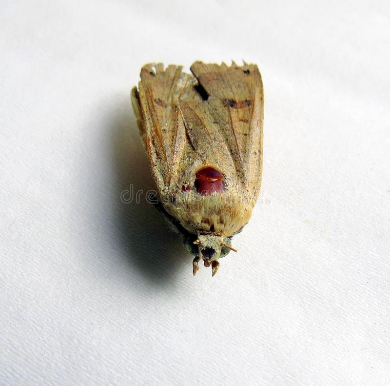 Dead moth, front view. A moth, large, dead, lying on tissue, seen from the front, with one eye remaining stock image