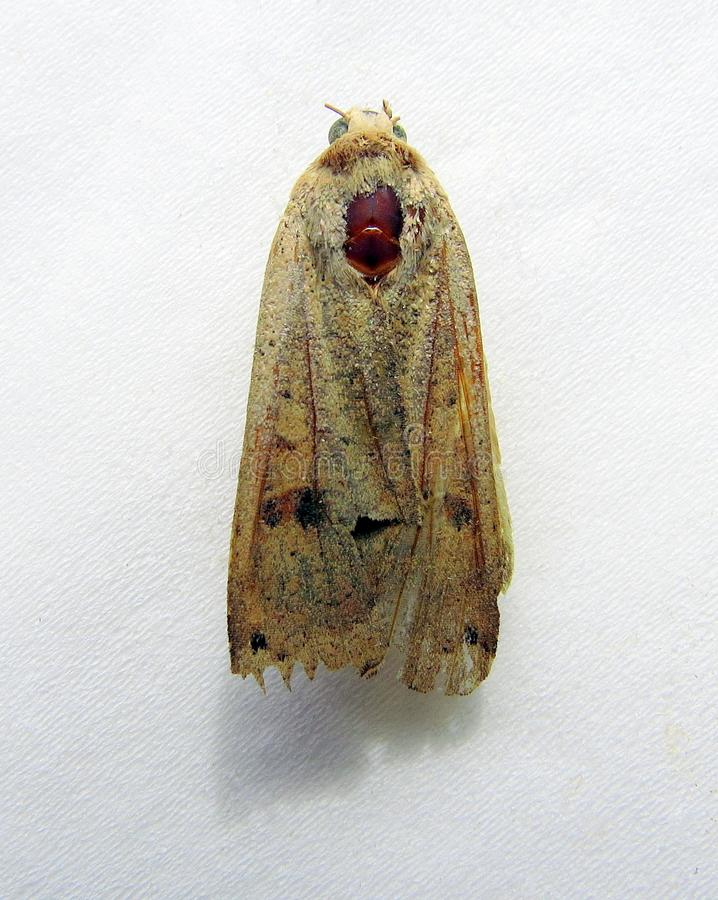 Dead moth, top view. A moth, large, dead, lying on its front on tissue, folded wings, the remains of antennae royalty free stock photography