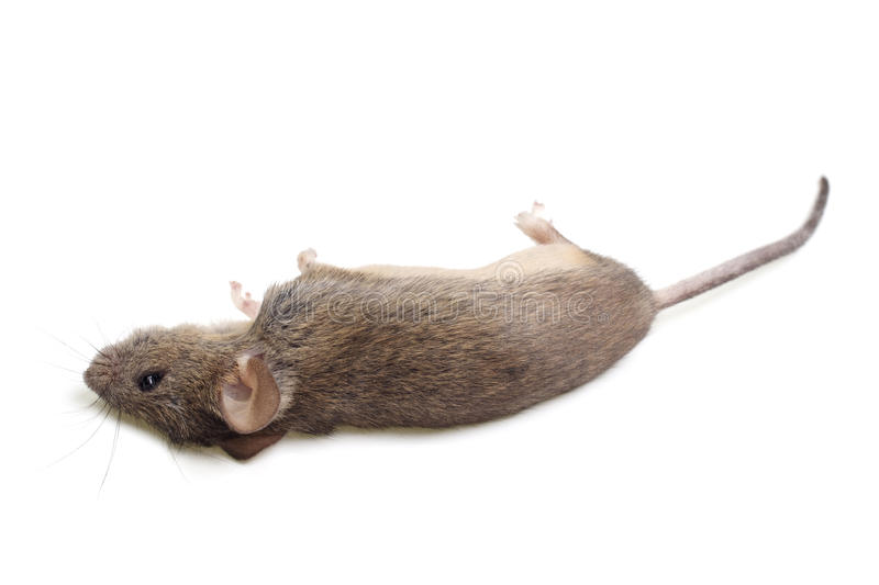 The dead mouse. Is isolated on a white background royalty free stock photography