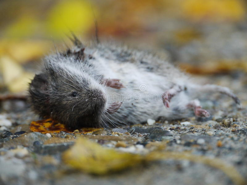 Download Dead mouse stock photo. Image of beautiful, creature - 28591404