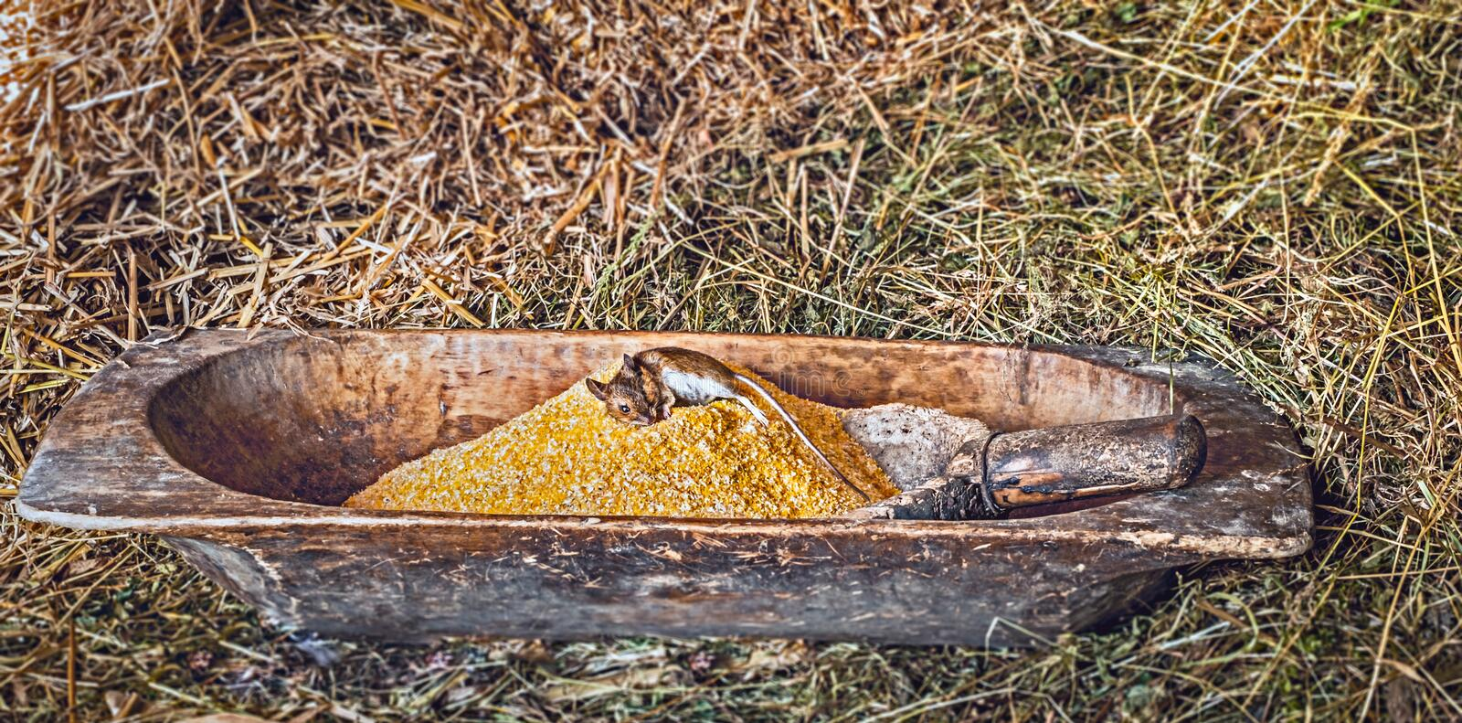 Dead mouse on corn flour. Closeup view royalty free stock photography