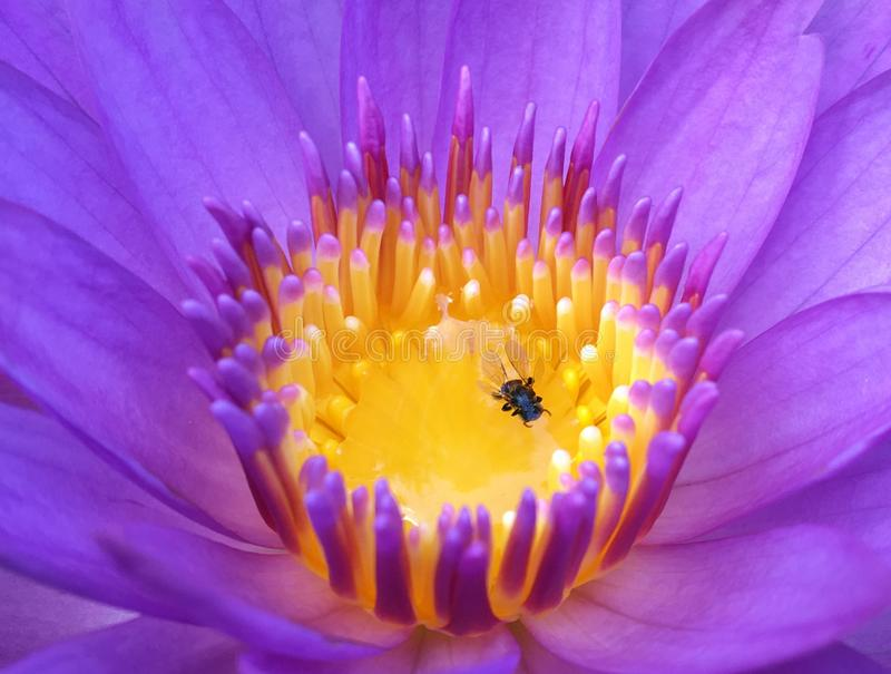 Dead in nector. A bee drowned in the nector of a blue lily flower stock photos