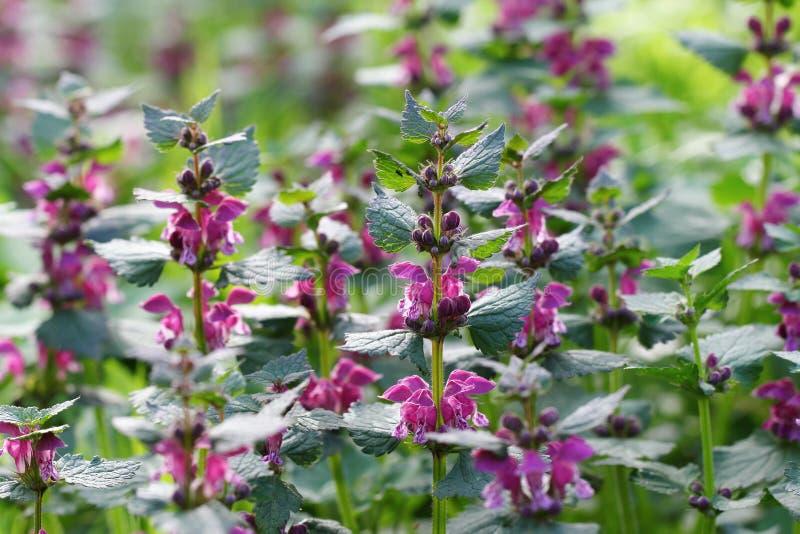 Dead nettle flowers stock images