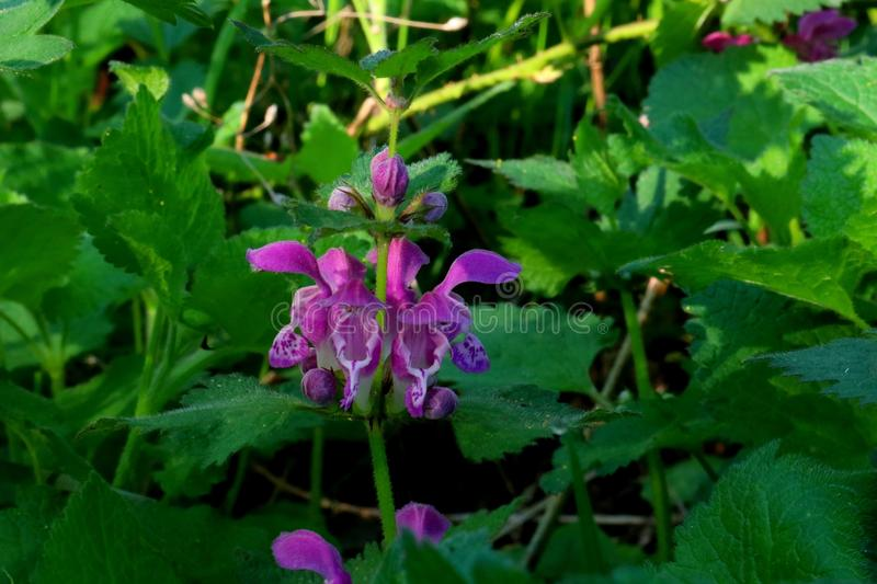 Dead Nettles with pink flowers close up royalty free stock image