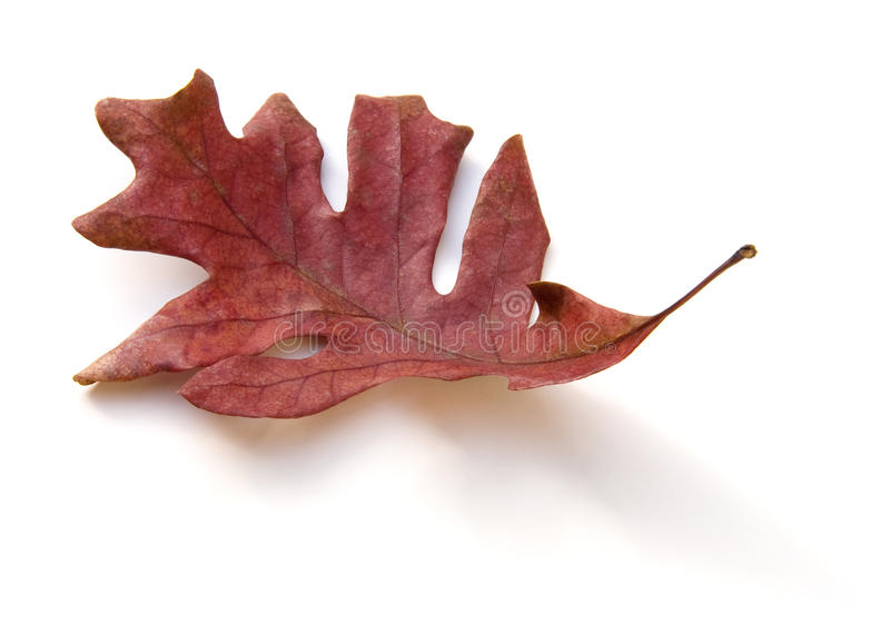 Dead Oak Leaf Isolated royalty free stock photo