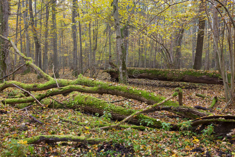 Dead oak lying moss wrapped. Among deciduous trees in summer,Bialowieza Forest,Poland,Europe stock image