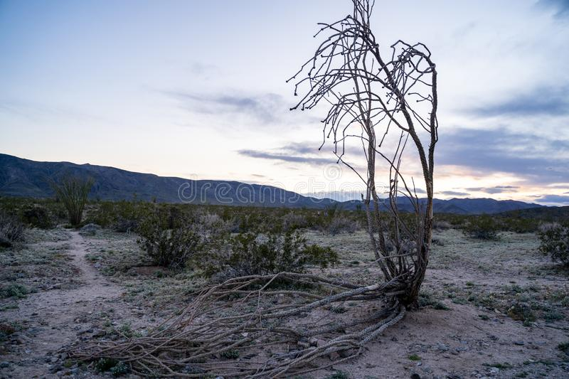 Dead Ocotillo cactus plant lying on the ground at the Ocotillo Patch in Joshua Tree National Park in California at sunset.  royalty free stock images