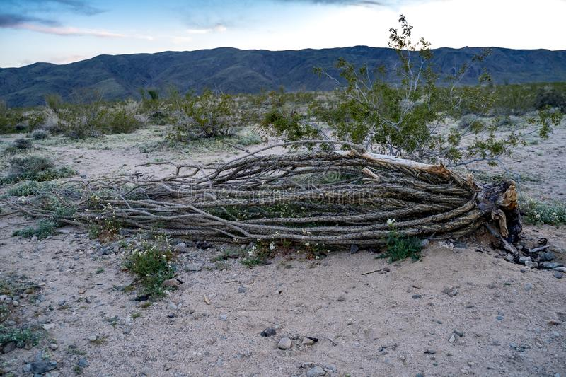 Dead Ocotillo cactus plant lying on the ground at the Ocotillo Patch in Joshua Tree National Park in California at sunset.  stock image