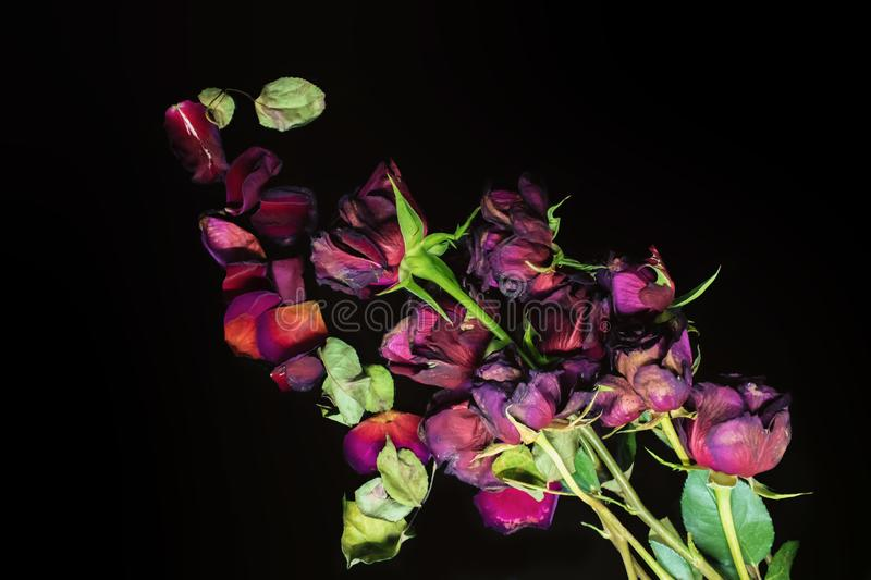 Dead old and sad roses stock photography
