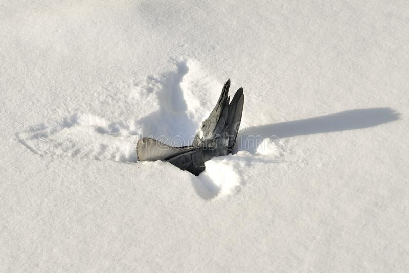 Download Dead Pigeon in Snow stock image. Image of mortis, dead - 23360989