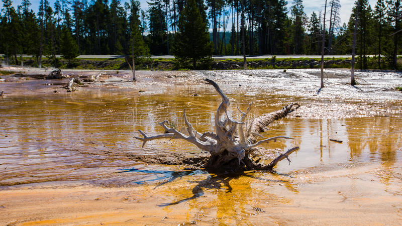 Download Dead Pine In Wetlands With Geothermal In Yellowstone Park Stock Photo - Image: 29722890
