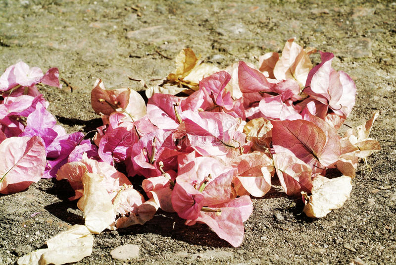 Dead Pink bougainvillea flowers. On the ground royalty free stock images