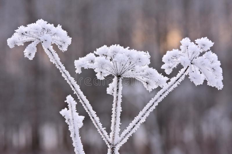 Dead plant in the freeze. Dead icy plant in low winter light after cold and freezing night royalty free stock photography