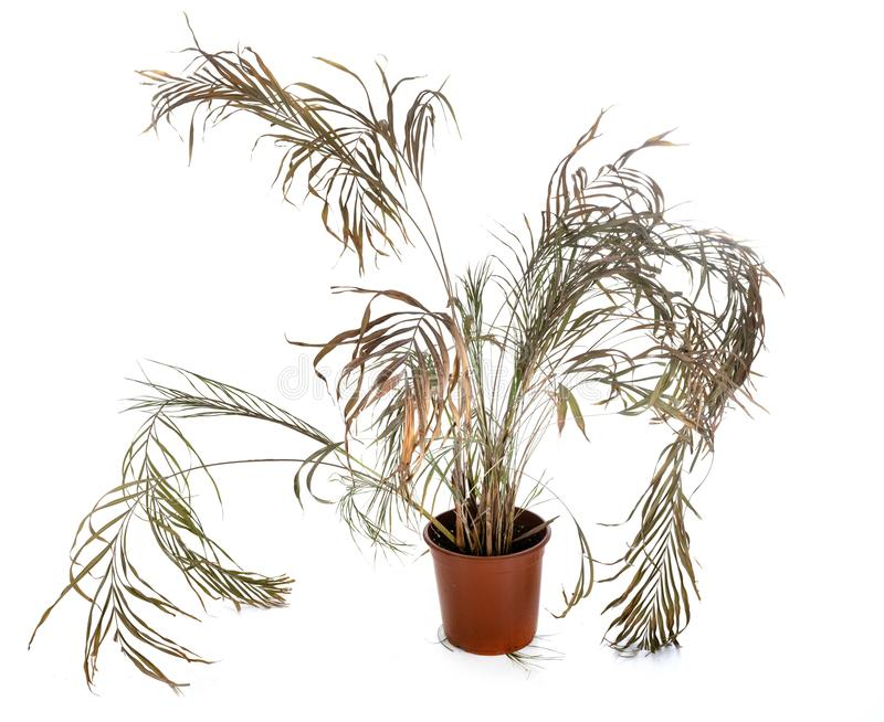 Dead plant in studio. Dead plant in front of white background stock image