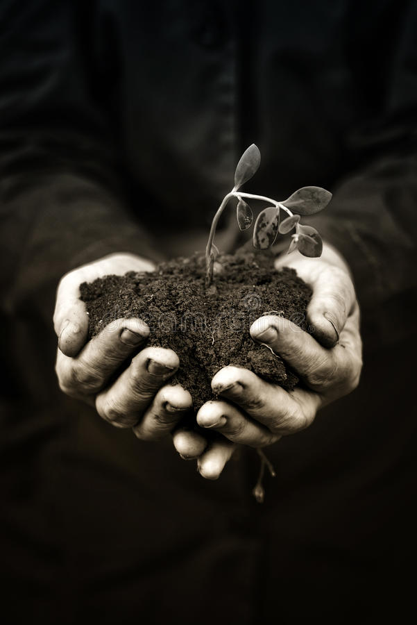 Dead plant in hands of agricultural worker royalty free stock images