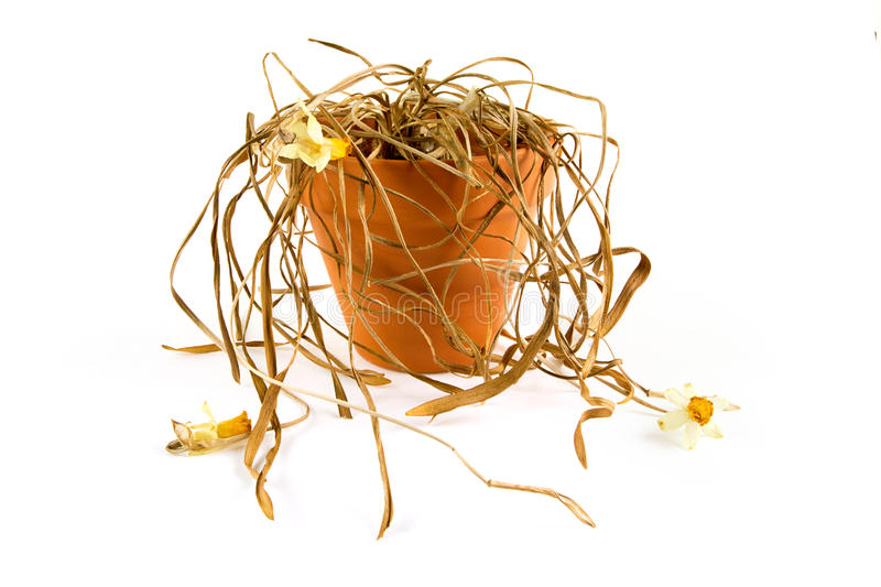 Dead plant in a pot over white. Dead plant in a pot on white royalty free stock image