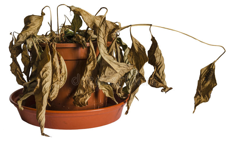 Dead Plant. Dead and Shrivelled Spathiphyllum Plant in Plant Pot royalty free stock photos