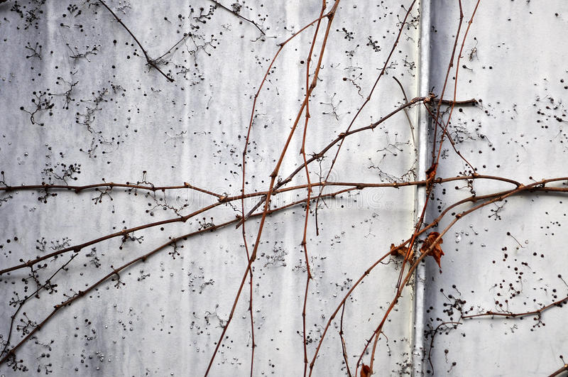 Dead plant wall. Dead plant covered wall . Dry ivy stock image