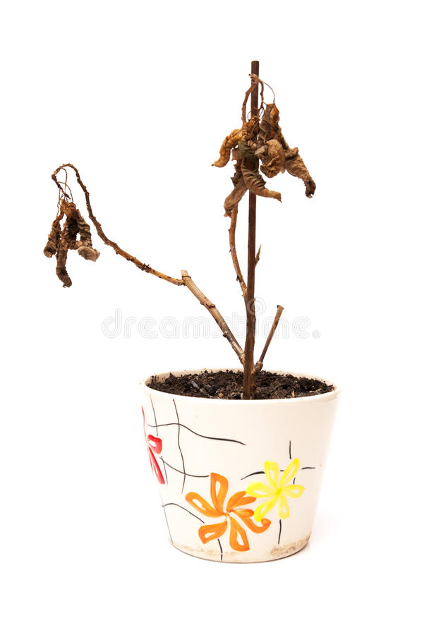 Dead plant. On a white background stock photos