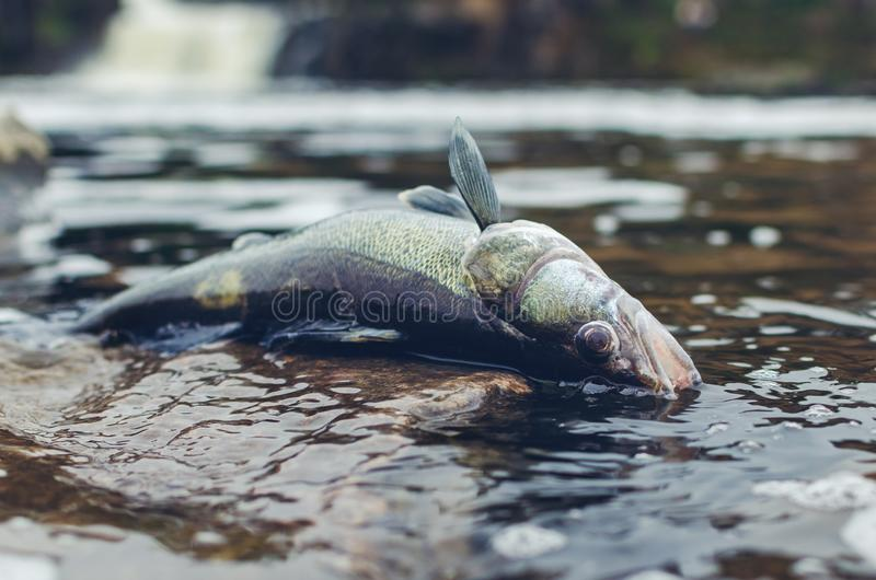 Dead poisoned fish lies on the banks of the river, environmental pollution royalty free stock images