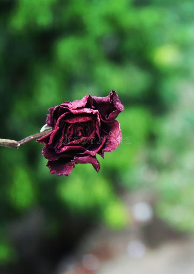 Dead rose stock photo