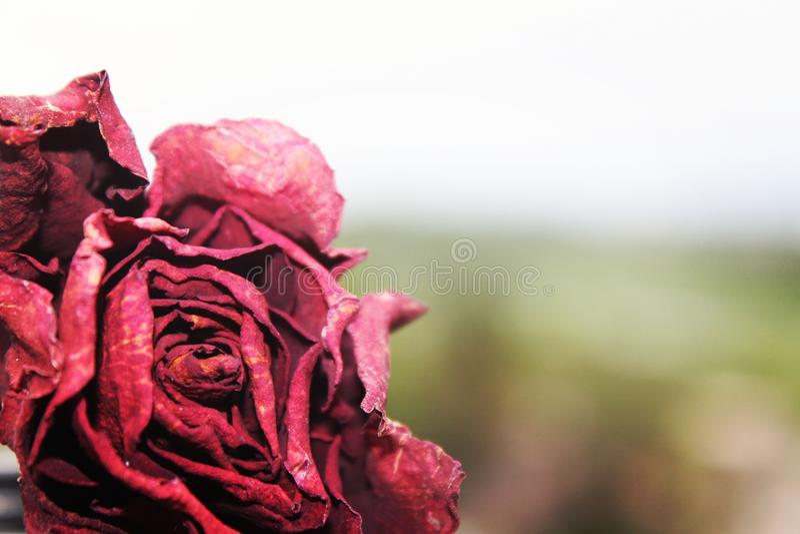 Dead rose royalty free stock photos
