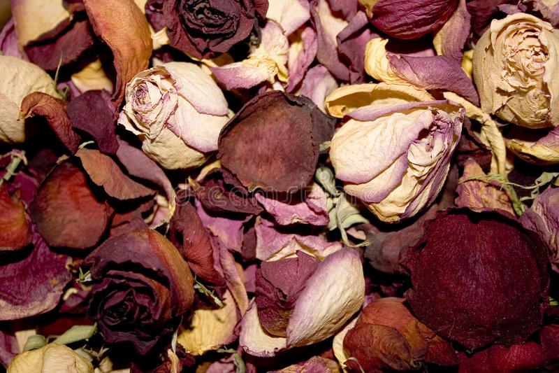 Dead rosebuds. The collection of dead rosebuds royalty free stock photos