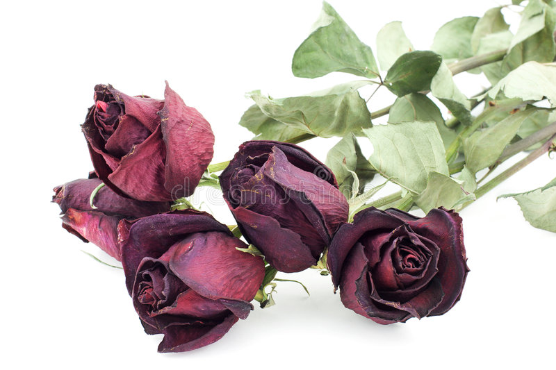 Dead roses. Isolated photo of five dead roses stock photo