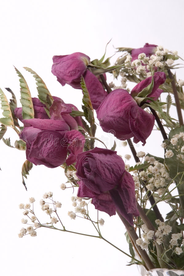 Download Dead Roses stock image. Image of roses, dried, purple, stems - 65455