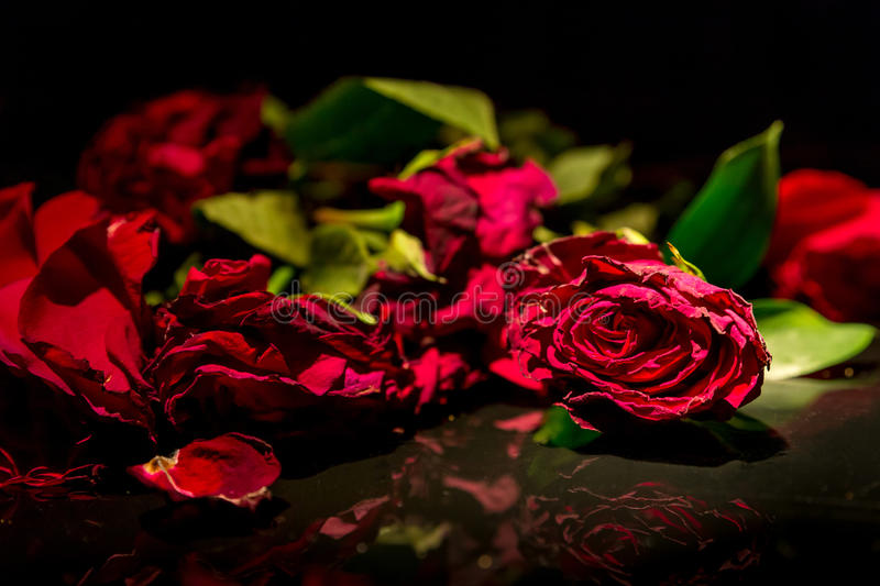 Dead Roses. Dying, broken roses lying on a shiny black surface. Focus is on the rose that is still intact royalty free stock photography