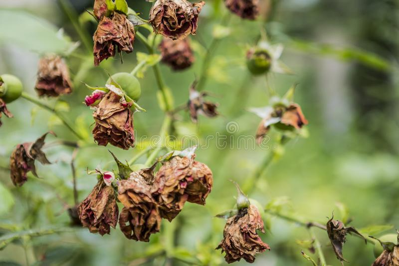 Withered roses and flowers in summer hot weather. Dead roses and flowers in the middle of summer. nature royalty free stock images