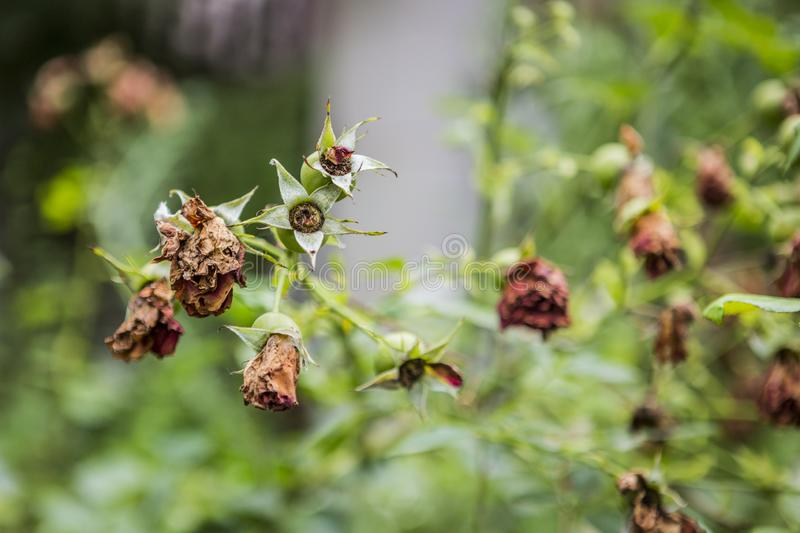 Withered roses and flowers in summer hot weather. Dead roses and flowers in the middle of summer. nature royalty free stock photo