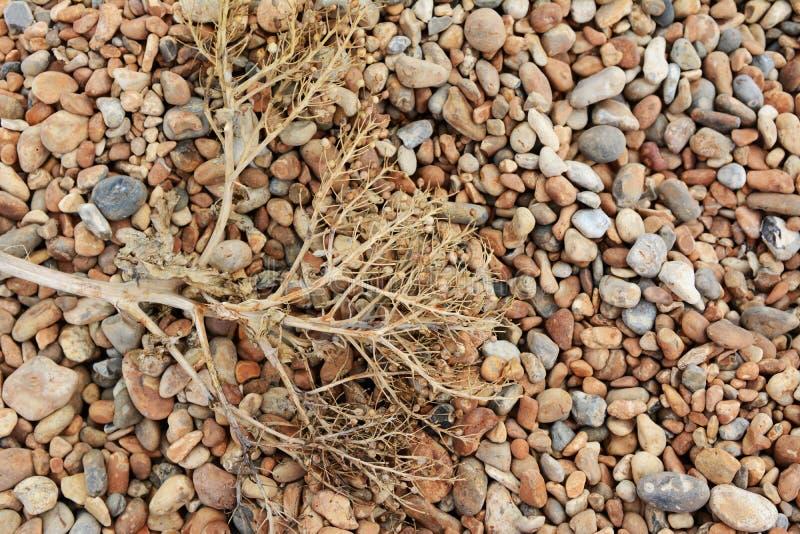 Download Dead Sea Kale On A Shingle Beach Stock Image - Image: 42658771