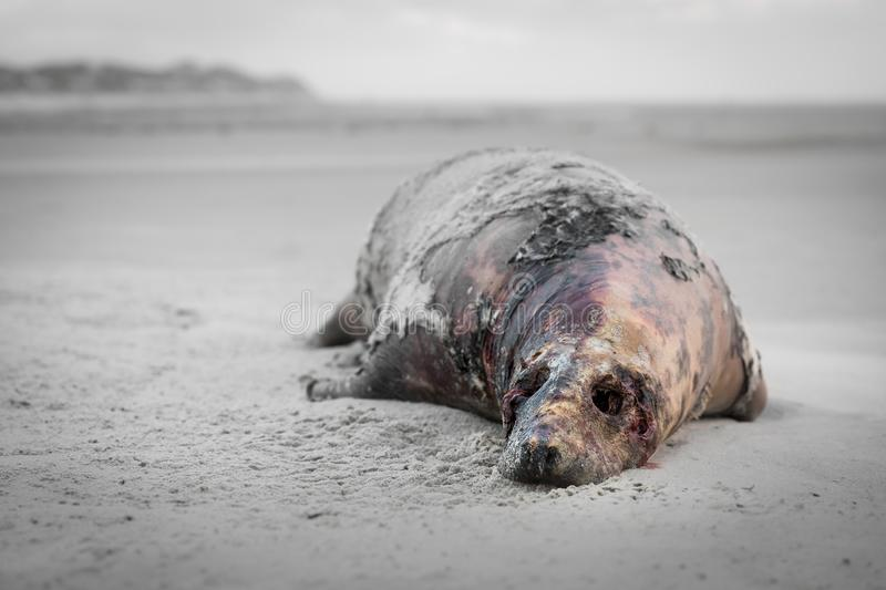 Dead seal on the beach royalty free stock image