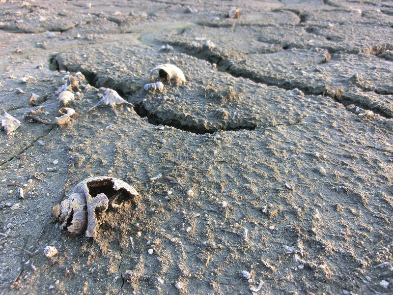 Dead shells on the cracked land. Of the lake bed royalty free stock image