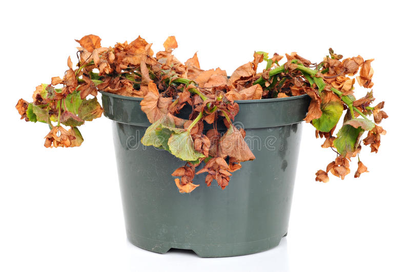 Dead and shriveled plant, in a plastic pot. White background stock image