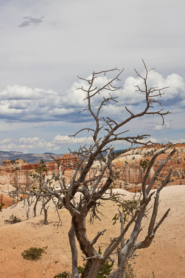 Download Dead Small Tree At Bryce Canyon Stock Image - Image of bryce, stone: 22399805