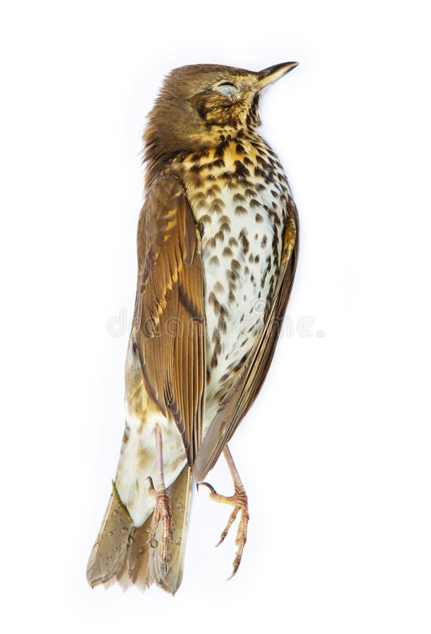Download Dead song thrush bird stock image. Image of lying, song - 37249515