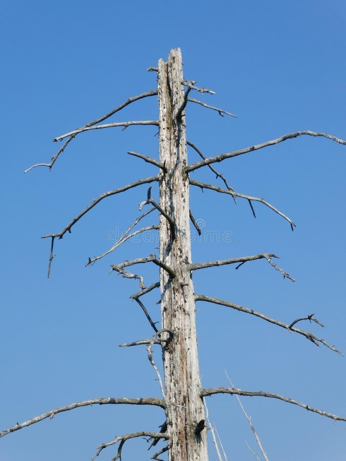 Dead spruce tree in Alaska stock photography