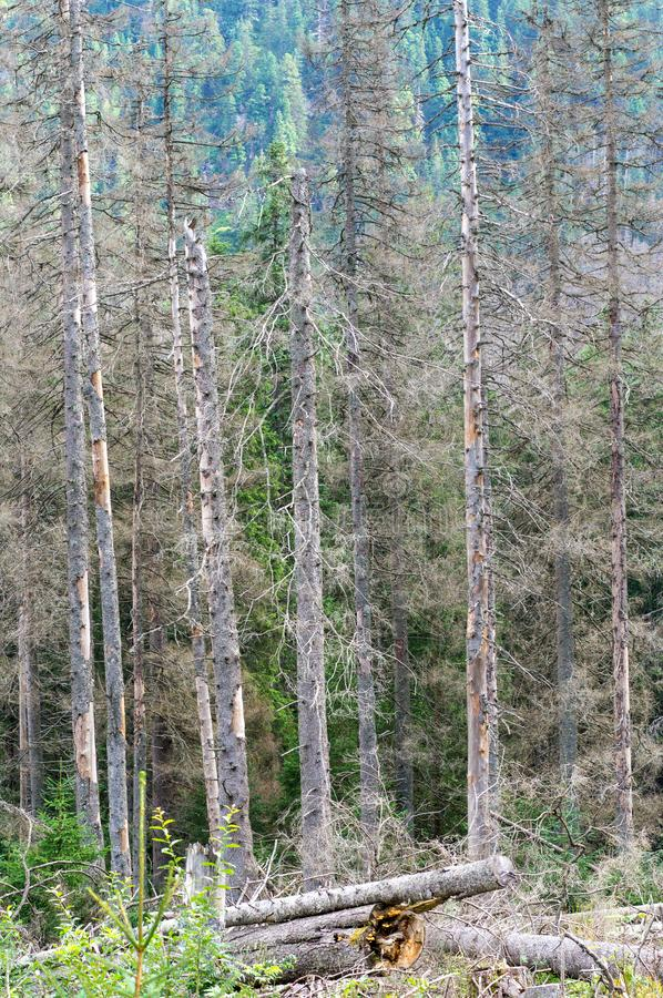 Dead spruce trees are infected by the European spruce bark beetle in the Tatra National Park stock photos