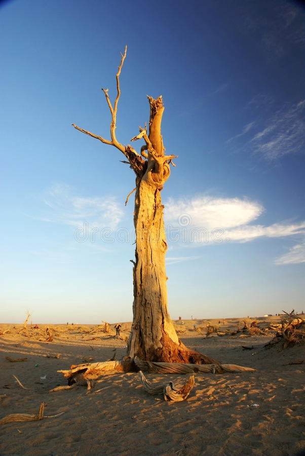 Dead Standing Tree With Sunset Sunshine Stock Photos