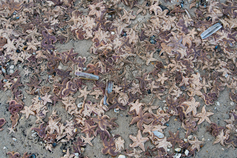 Dead starfish on the beach after storm. Dead starfish on the beach after a storm stock image