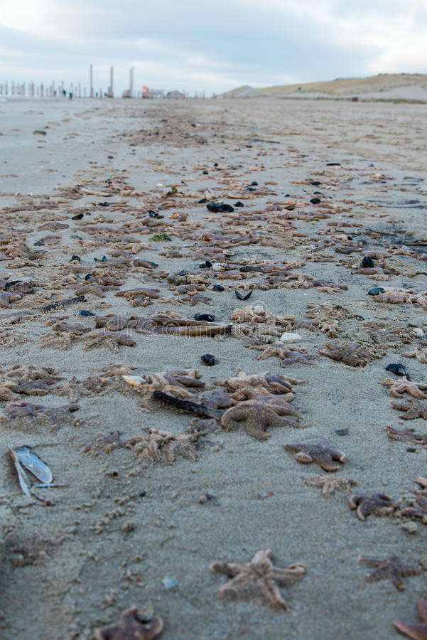 Dead starfish on the beach after storm. Dead starfish on the beach after a storm royalty free stock photography