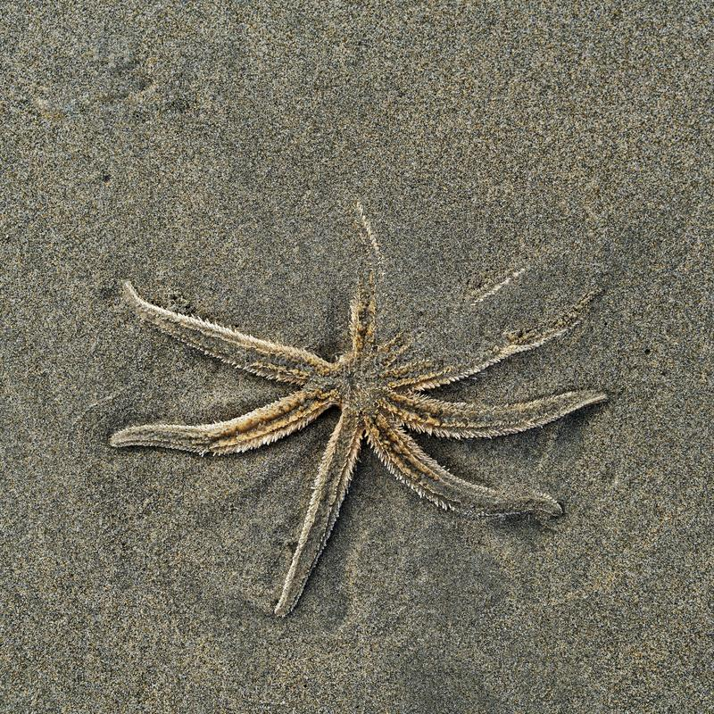 Dead starfish on a beach, New zealand. Dead starfish washed up on a beach, New zealand royalty free stock images