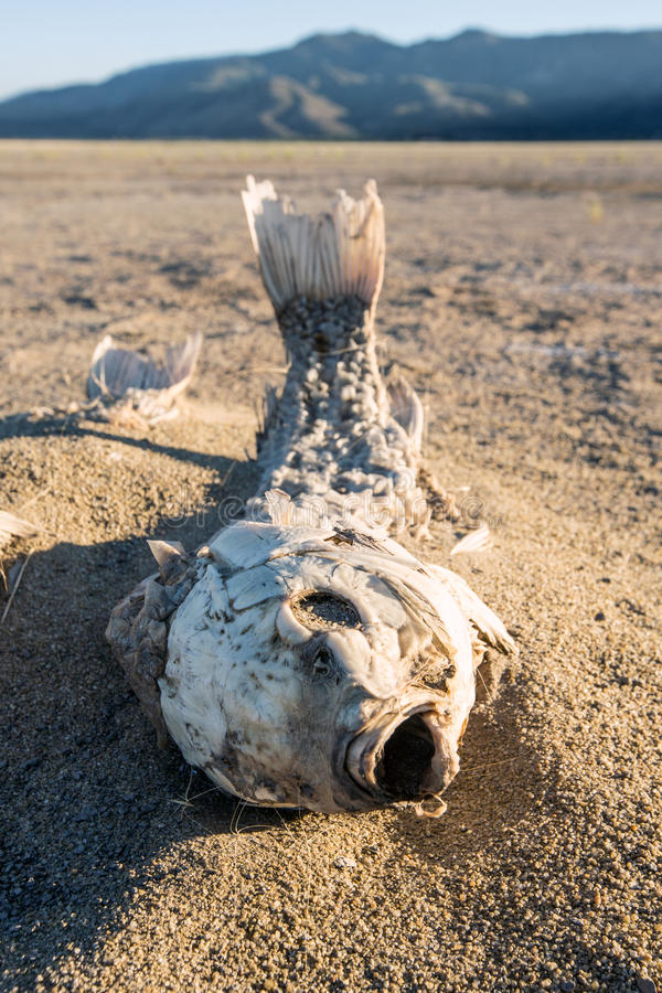 Dead suffocated fish skeleton. Lying on a dried out lake bed royalty free stock photography